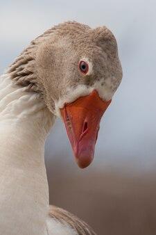Beautiful profile of a goose