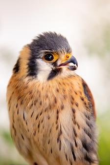 Beautiful profile of a kestrel