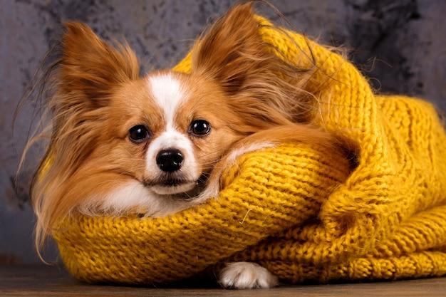 스웨터를 입은 아름다운 강아지, 클로즈업