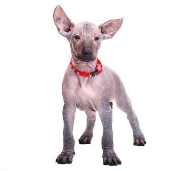 레드 칼라의 아름다운 강아지 멕시코 알몸 개가 똑바로 보인다. 흰색 배경에 고립.