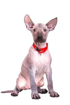 레드 칼라에 앉아 아름 다운 강아지 멕시코 벌 거 벗은 개. 흰색 배경에 고립.