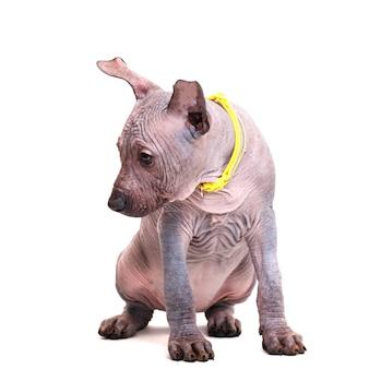 노란색 칼라에 앉아 아름 다운 강아지 멕시코 벌 거 벗은 개. 흰색 배경에 고립.