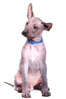블루 칼라에 앉아 멕시코 벌 거 벗은 강아지의 아름 다운 강아지. 흰색 배경에 고립.
