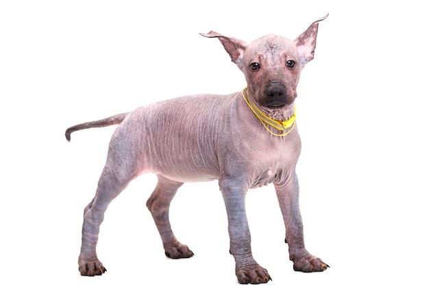 품종 멕시코 벌 거 벗은 강아지의 아름 다운 강아지. 흰색 배경에 고립