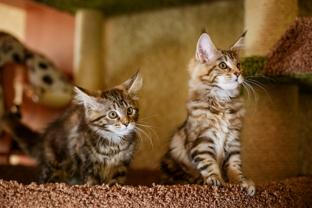Beautiful purebred kittens pose for the camera, mei kun.