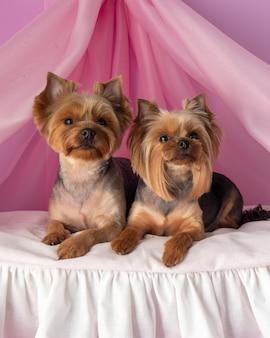 繊細なピンクの場所にある美しい純血種のヨーク犬。犬の繁殖。