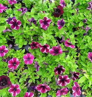 Вид сверху красивые фиолетовые и белые петунии