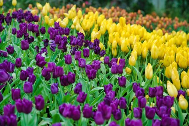 美しい紫と黄色のチューリップの花。花の背景として庭に咲く色とりどりのチューリップの花
