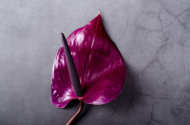 Beautiful purple anthurium on a grey grunge. trendy minimalistic.