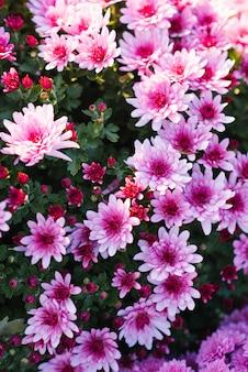 Beautiful purple autumn chrysanthemums in the garden