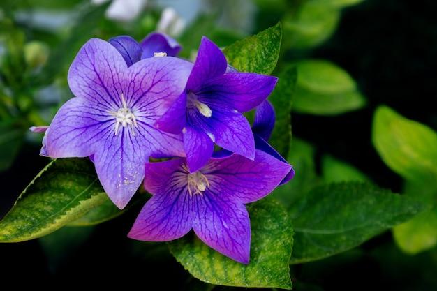 庭の美しい紫の鐘の花