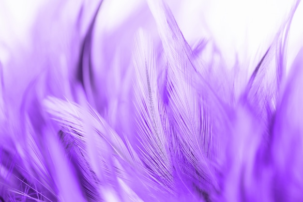 Beautiful purple chicken feather texture abstract  background. soft and blur color