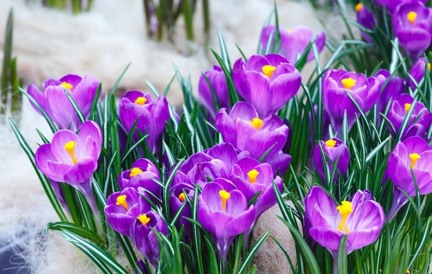春の美しい紫色のクロッカス(マクロ)