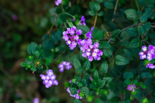 마편초 꽃의 아름 다운 보라색 꽃