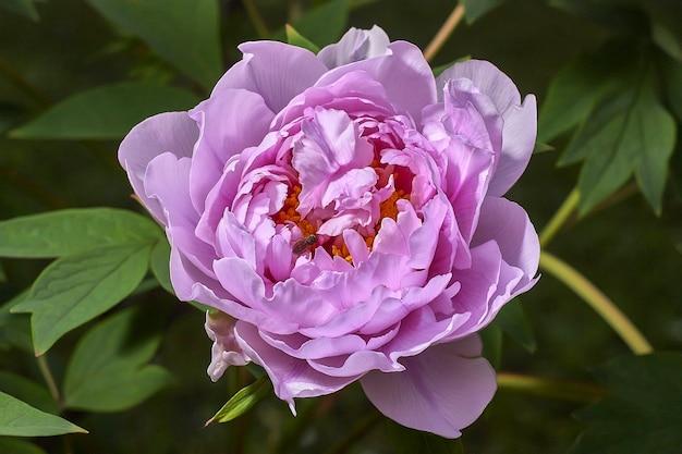 蜂蜜の生産のために花粉を養うことを意図している小さな蜂と美しい紫色の花。
