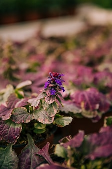 Beautiful purple flowering plant with pink and green leaves