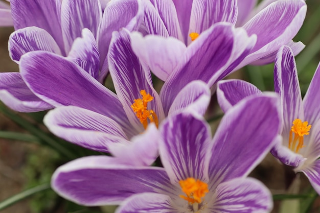 Красивые фиолетовые цветы весной на клумбе