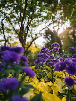 Beautiful purple flowers with yellow leaves