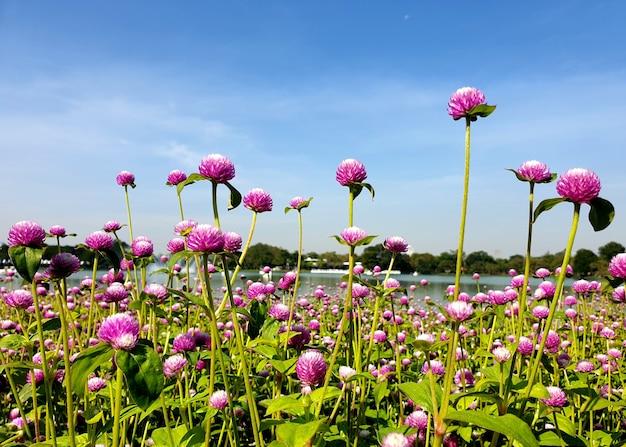Beautiful purple globe amaranth flower field background