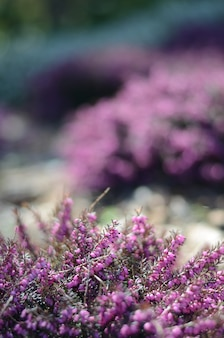 Beautiful purple heather cover in a field full of spring sunlight.