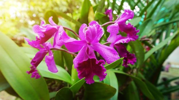 太陽光線効果を持つ美しい紫色のハイブリッドcattleya蘭