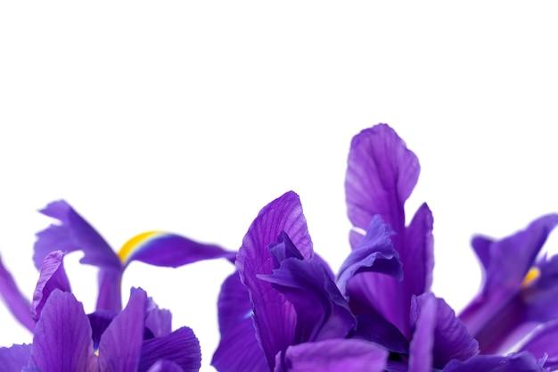 흰색 배경에 고립 된 아름 다운 보라색 아이리스 꽃잎