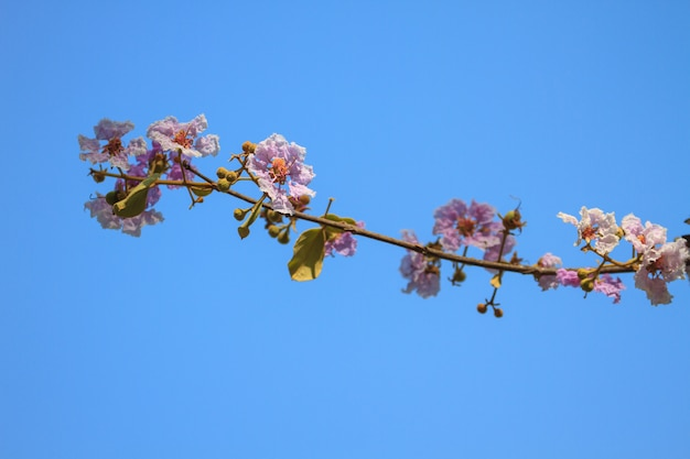 Beautiful purple lagerstroemia flower