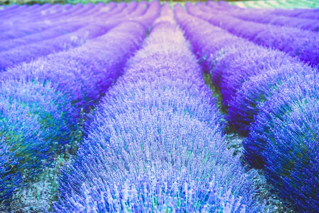 Beautiful purple lavender field in gordes, la provence,  france