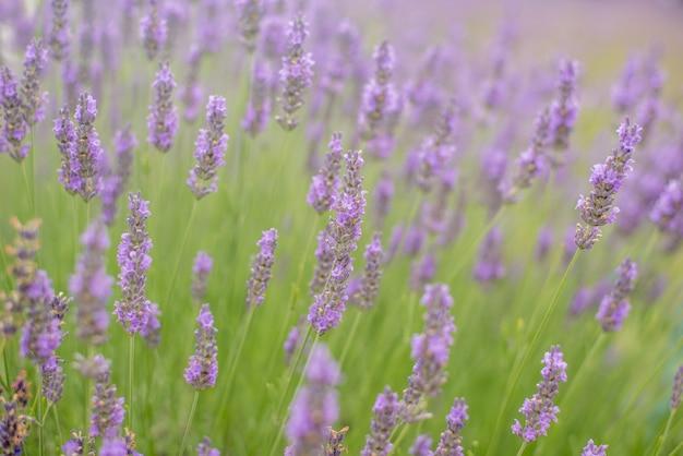 Beautiful purple lavender field in oishi park