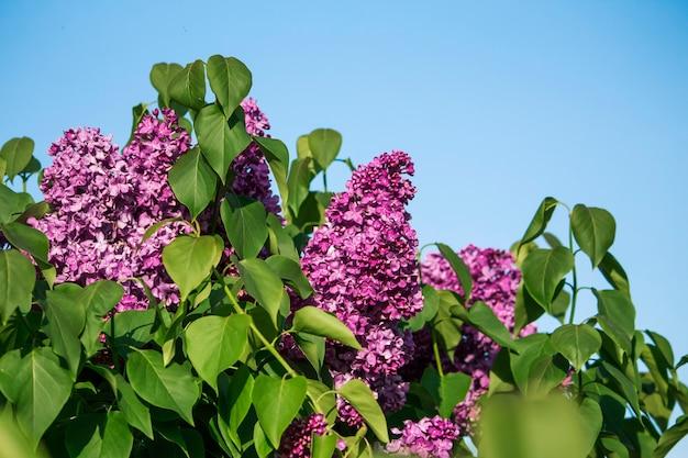 푸른 하늘에 대 한 아름 다운 보라색 라일락 부시입니다.