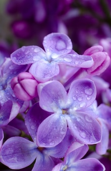 Красивые фиолетовые сиреневые цветы. макро фотография сиреневые весенние цветы.
