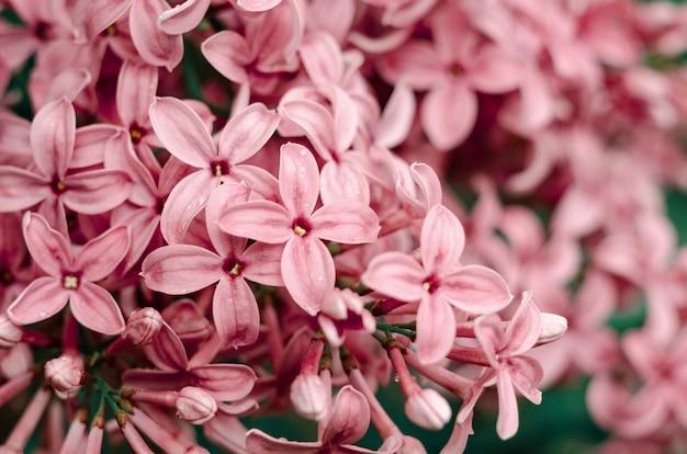 아름 다운 보라색 라일락 꽃입니다. 라일락 봄 꽃의 매크로 사진입니다.