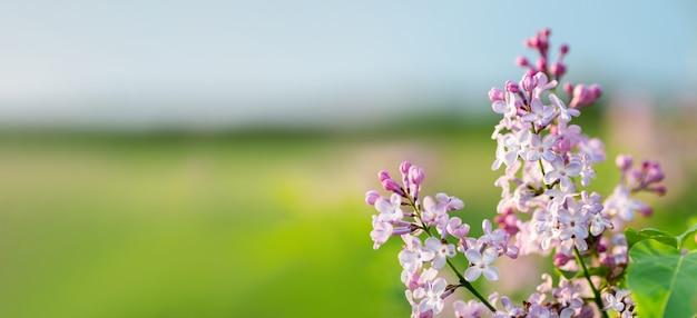 青空と緑の牧草地の壁に晴れた春の日に美しい紫色のライラックの花。春の開花、ソフトぼかしボケ。テキスト用のスペースを持つバナー形式。