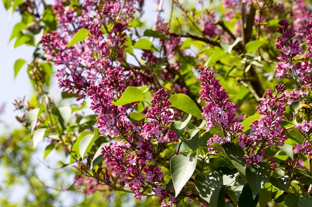 Beautiful purple lilac flowers with green foliage, close-up spring