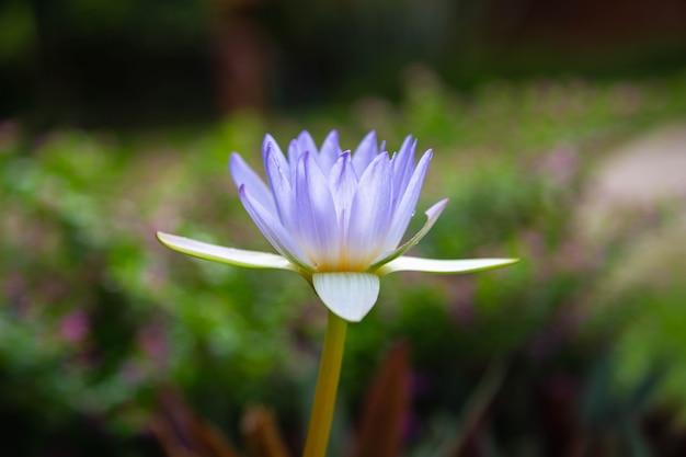 水の美しい紫色の蓮の背景