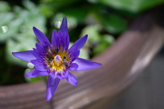 美しい紫の蓮は、花の中心に働いている蜂を閉じます