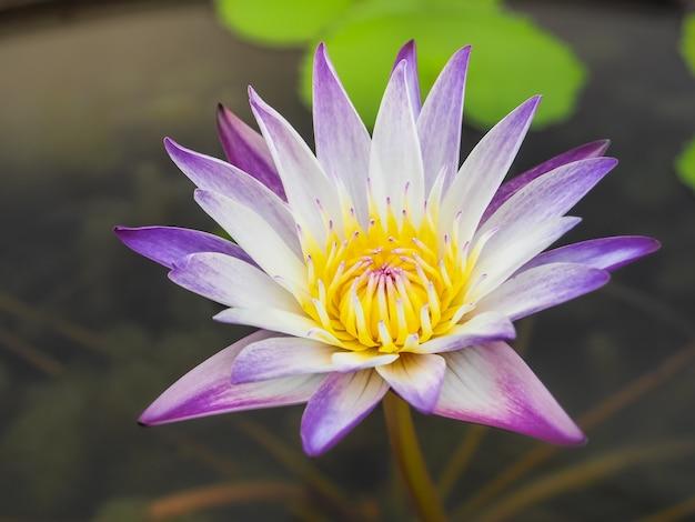 Beautiful purple lotus in the morning light.