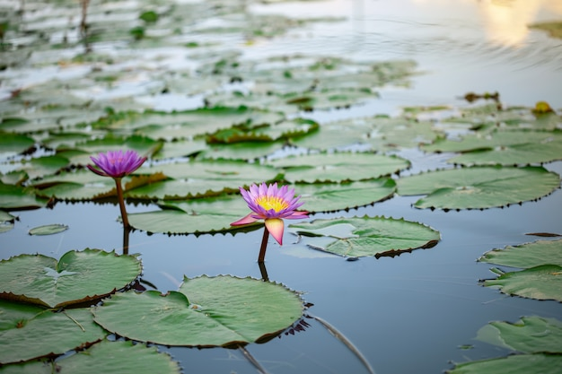 Beautiful purple lotus, a water lily flower in pond