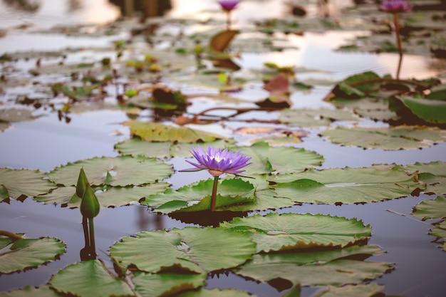 美しい紫色の蓮