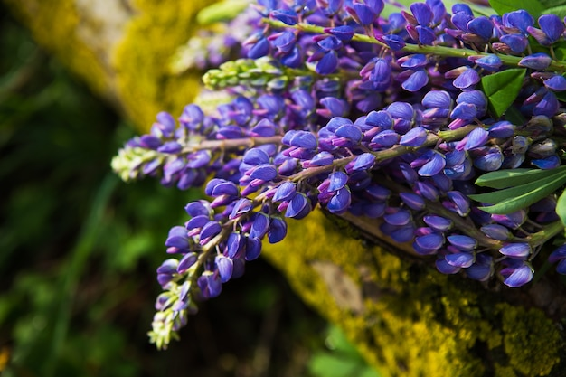 Beautiful purple lupines bloom in the forest in summer, close-up
