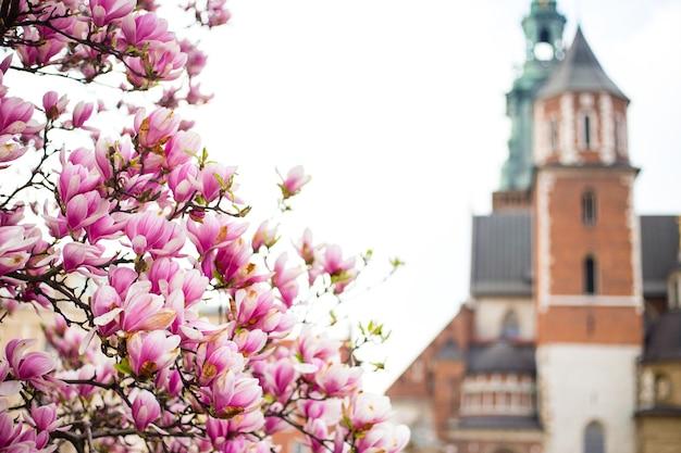 ポーランドの春の美しい紫色のモクレンの花。ヴァヴェル城