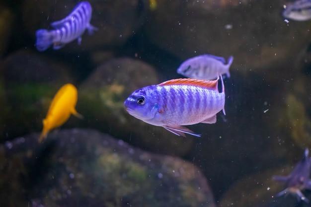美しい紫色のメトリアクリマパルピカンとメトリアクリマロンバルドイ