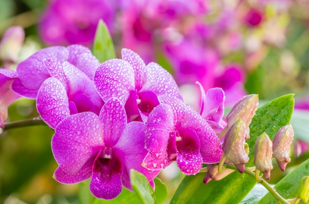 Beautiful purple orchids, dendrobium.