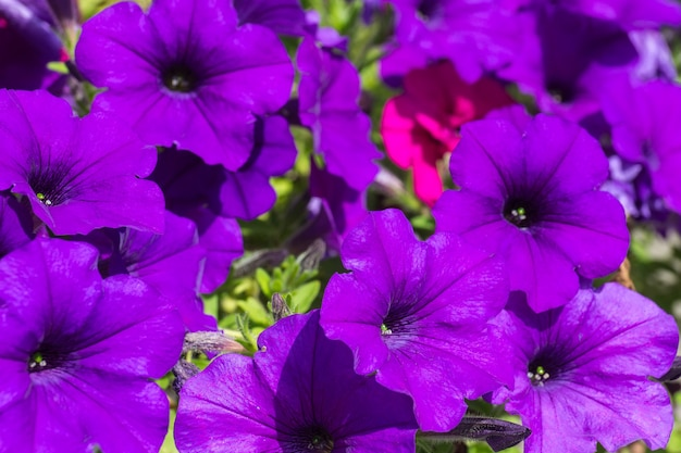 Beautiful purple petunia