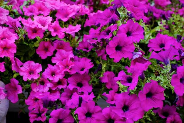 Beautiful purple petunias in flower pots decorating windows in summer