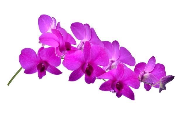 아름 다운 보라색 phalaenopsis 난초 꽃, 흰색 절연