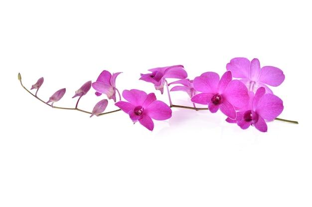 아름 다운 보라색 phalaenopsis 난초 꽃, 절연