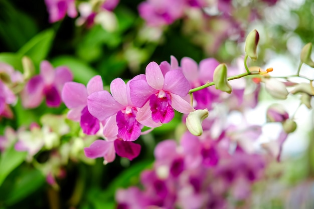 Beautiful purple or pink flowers of phalaenopsis orchids in garden.