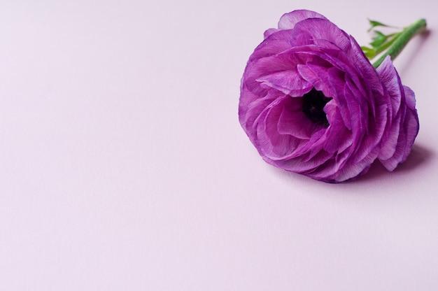 分離された美しい紫色のラナンキュラスの花