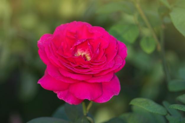 美しい紫色のバラ。庭の大きな紫色のバラ
